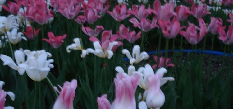 Наши цветы, молодой садик и огород